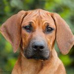rhodesian ridgeback puppie
