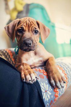 Opvoeding Rhodesian Ridgeback pup