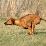 Coursing met een Rhodesian Ridgeback