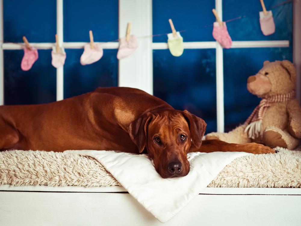 Schijnzwangerschap hond