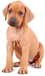 Gewicht rhodesian ridgeback puppy