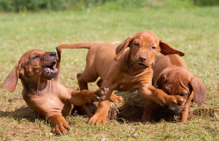 Hoe puppy bijten afleren?