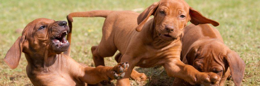 puppy bijten afleren